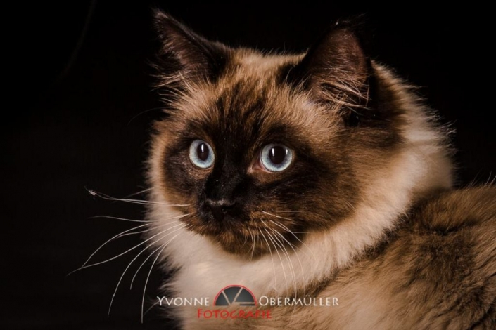 Ragdoll, Katze, Kätzchen, Katzenfotoshooting, Katzen im Fotostudio,