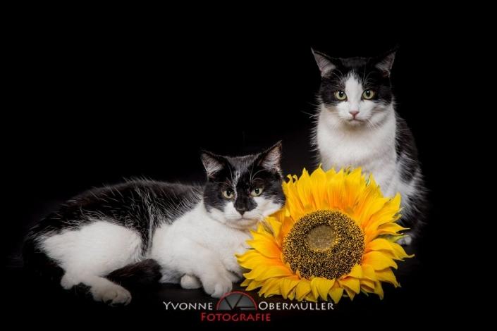 Katze, Kätzchen, Katzenfotoshooting, Katzen im Fotostudio,