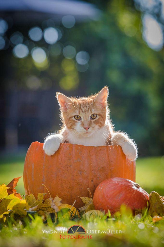 halloween, Katzenfoto, Katzenfotografie, süsses Kätzchen, Fotografin Niederbayern