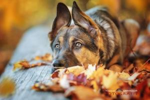 Schäferhund, Herbstlaub, Fotografin, Niederbayern, Hundefotografie