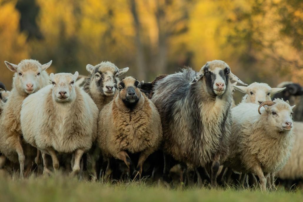 Schafe, Schafherde, Mranch, Bischofsreut, Fotografin,