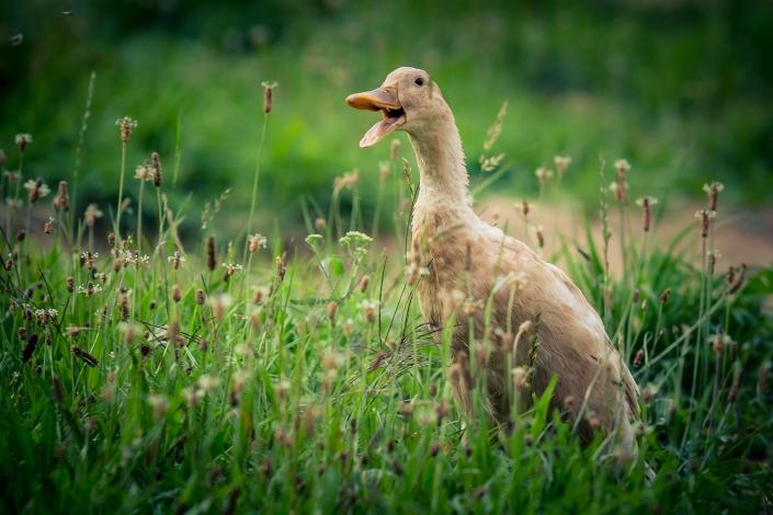 Ente, Fotoshooting, Tierfotografie, Haustiere, Familienfotoshooting, Niederbayern, Bayerischer Wald, Fotografin