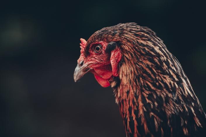 Hahn, Gockel, Fotoshooting, Tierfotografie, Haustiere, Familienfotoshooting, Niederbayern, Bayerischer Wald, Fotografin