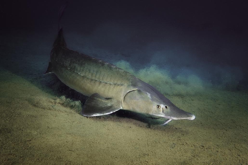 Stör, Fische, Österreich, Grüblsee, Alpenaquarium, Tauchen, Unterwasserfotografie, Olympus