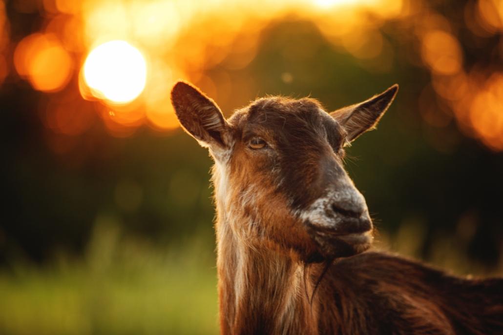 Ziege im Sonnenuntergang, Fotoshooting Haustiere, Niederbayern Fotografin