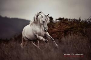 grey Hengst, Lusitano, Pferd, pferdefotografie, niederbayern, pferdefotografin, Bayern