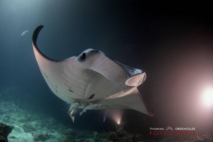 Manta, Rochen, Malediven, Tauchen, Unterwasserfotografie