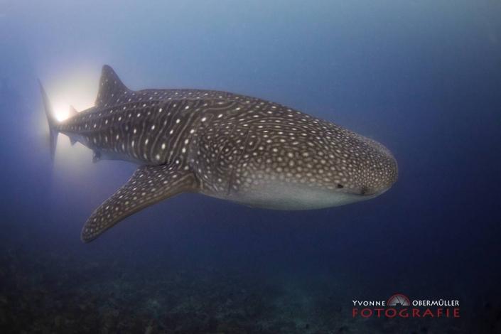 Walhai, Malediven, Tauchen, Unterwasserfotografie