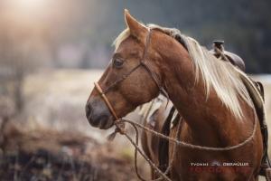 Westernpferd, Hengst, Mranch, pferdefotografie, niederbayern, pferdefotografin, Bayern
