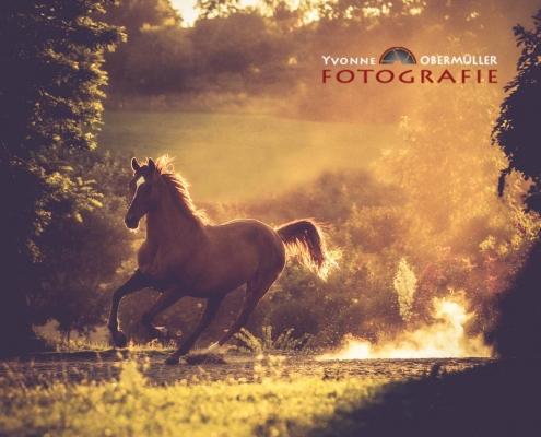 Braunes PFerd, Sonnenuntergang, pferdefotografie, niederbayern, pferdefotografin, Bayern