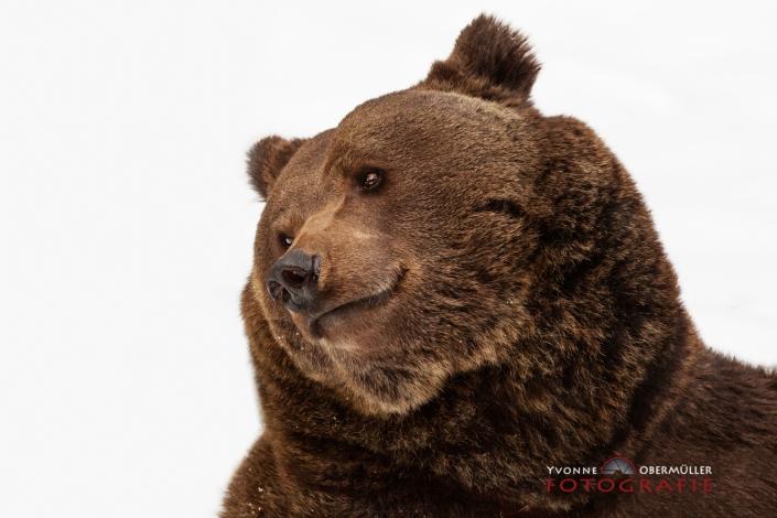 Braunbär, Nationalpark Bayerischer Wald,