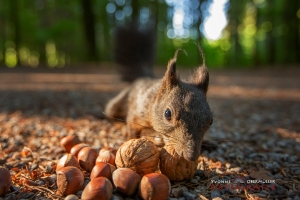 Eichhörnchen, Allgäu, Eichhörnchenwald