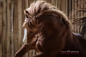 pferd in reithalle Action